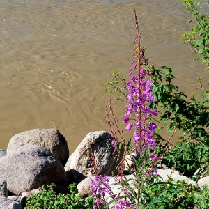 Wild Flower and Muddy Water
